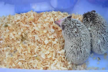 two pygmy hedgehogs in a cage with wooden shavings bedding