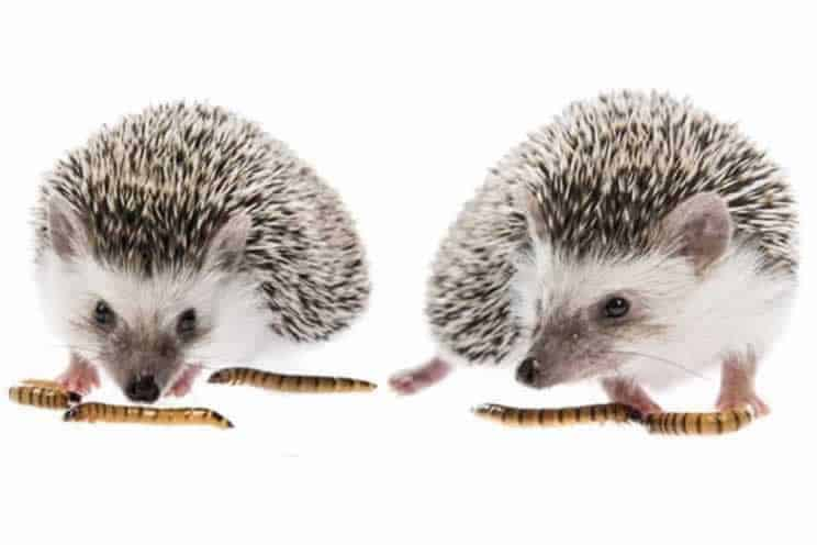 two pygmy hedgehogs eating mealworms