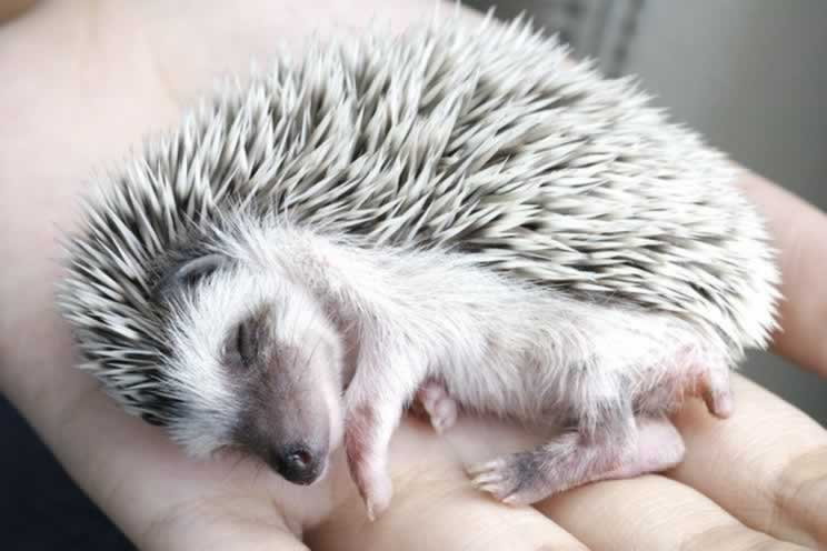 Pygmy hedgehog fast asleep in their owner hand