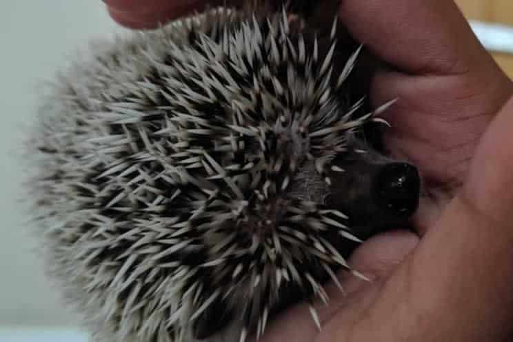 Pygmy hedgehog being held