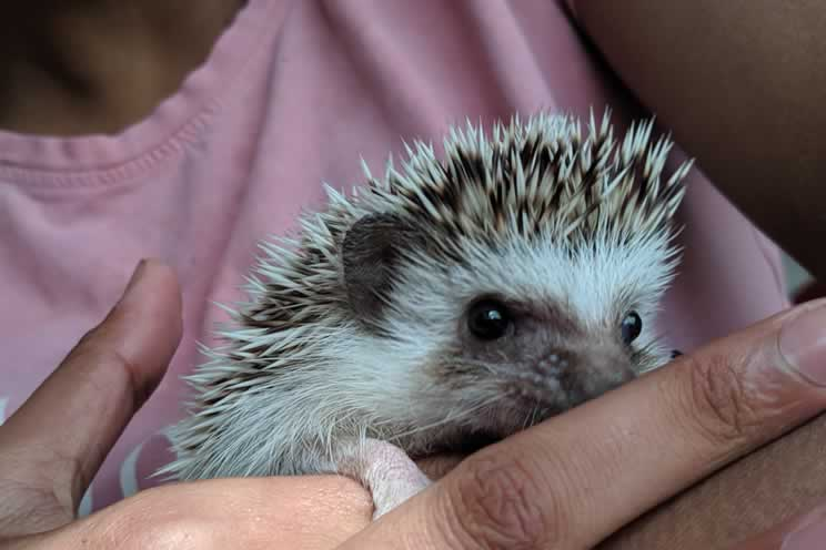 Pygmy hedgehog relaxing as they are held in their owners hand