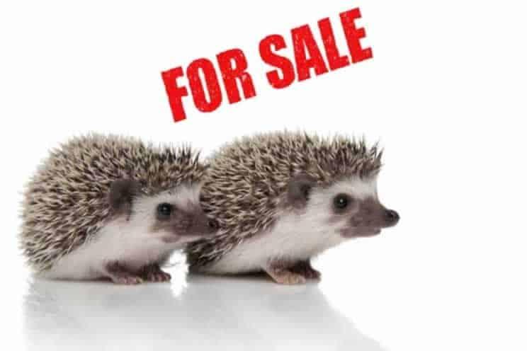 Two pygmy hedgehogs next to a for sale sign