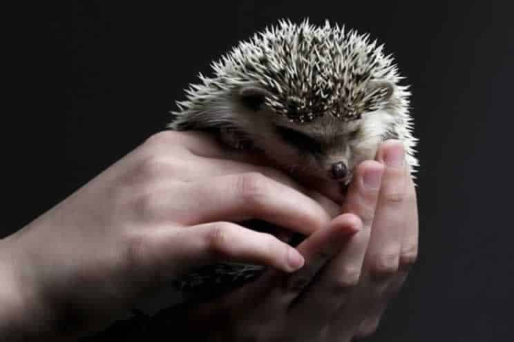 Grumpy pygmy hedgehog being held