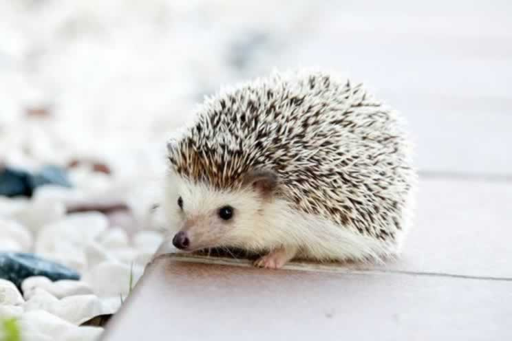 Cute pygmy hedgehog