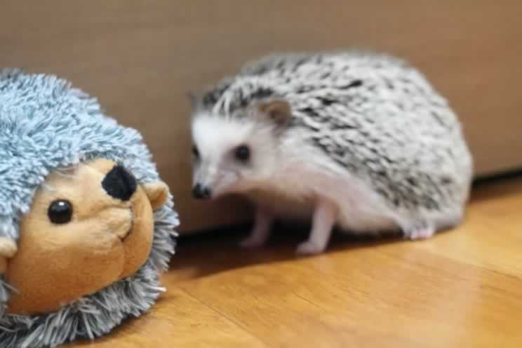 Pygmy hedgehog next to a large hedgehog soft toy