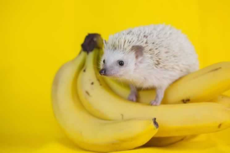 Pygmy hedgehog sitting on top of a bunch of bananas