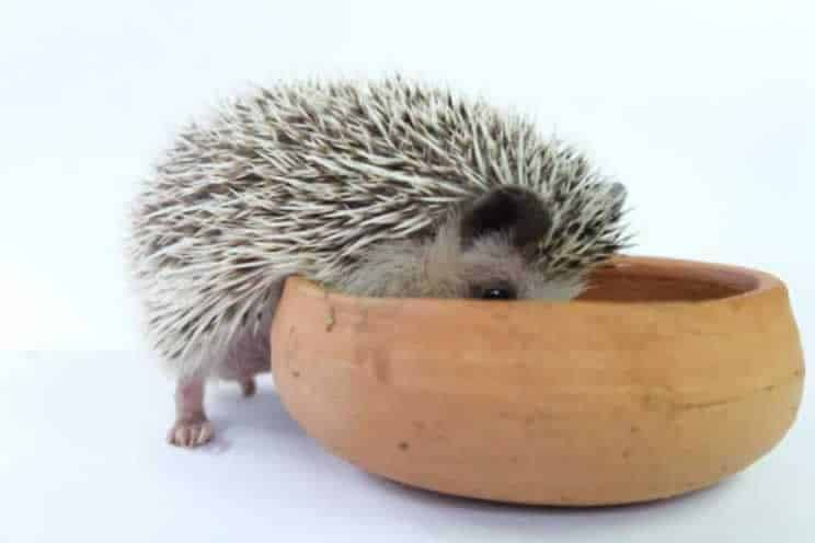 Pygmy hedgehog with head in food bowl eating