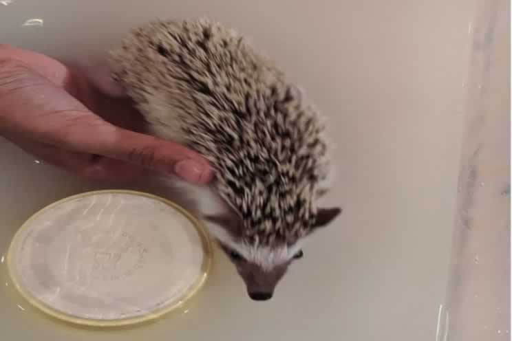 Pygmy hedgehog in bath with oatmeal for moisturizer