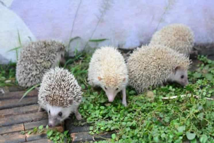 Many pygmy hedgehogs outdoors