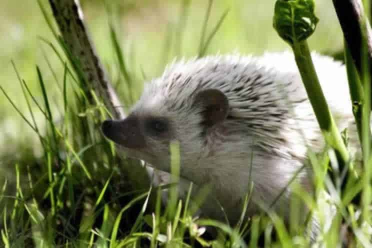 Pygmy hedgehog sniffing their way through the grass