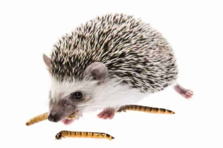 Pygmy hedgehog eating mealworms