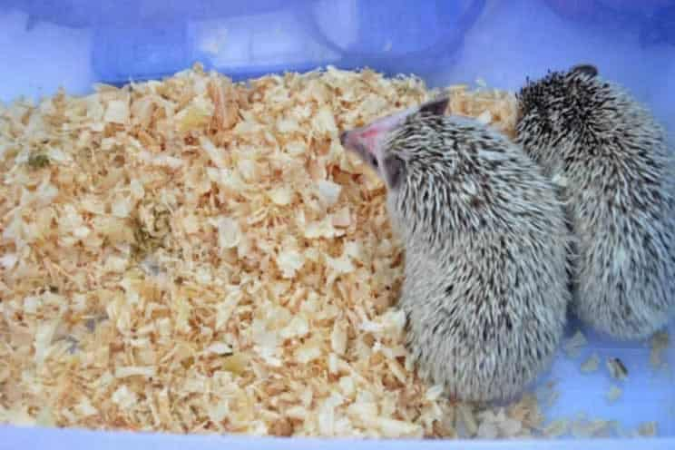 Shavings bedding