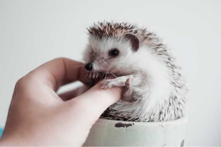 Pygmy hedgehog in a cup