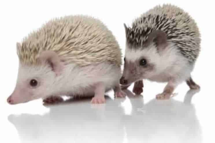 Two pygmy hedgehogs with each other