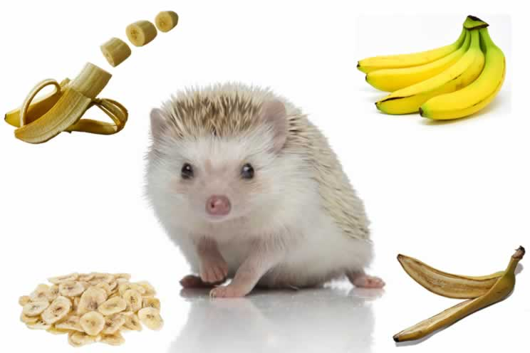 Pygmy hedgehog surrounded by bananas