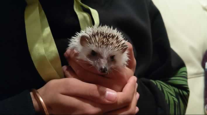 Woman holding pygmy hedgehog in her hands