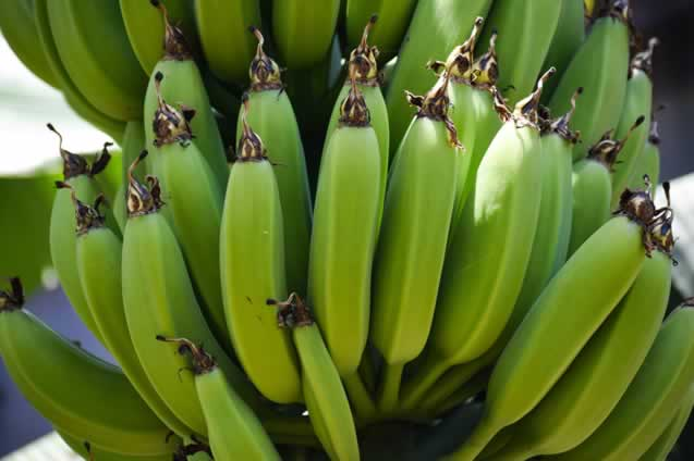 bunch of green ripe bananas hanging from a tree