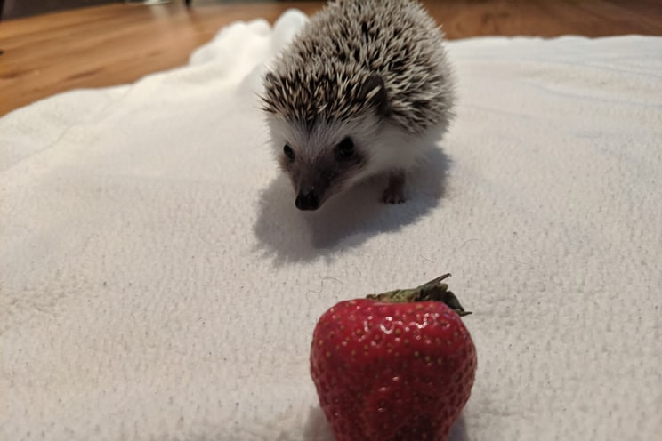 Pygmy hedgehog near a strawberry
