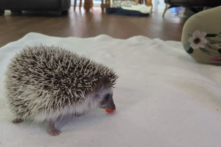 Pygmy hedgehog eating small piece of strawberry