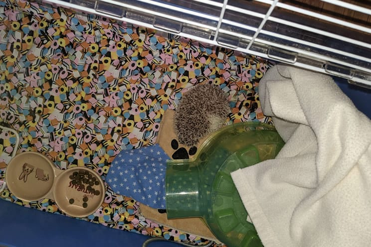 Pygmy hedgehog curled up in ball in his cage on his heat mat pad.