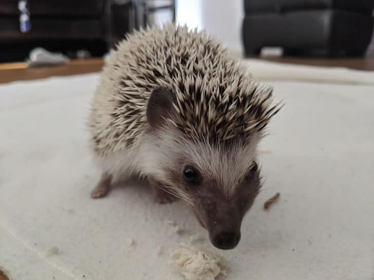 Pygmy hedgehog with tumor swelling on side of face