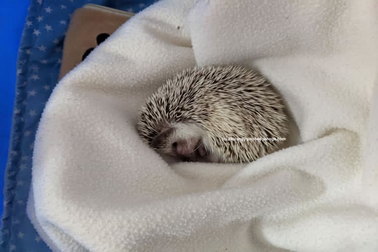 Ill hedgehog lying on top of a blanket