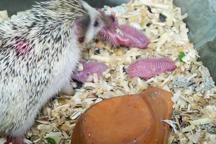 mother hedgehog with newly born baby hedgehogs